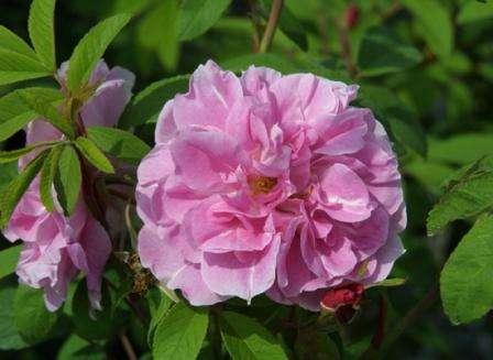 Выращивание куста Терез Багнет абсолютно несложное, при этом цветок будет особенно радовать вас в осенний период.