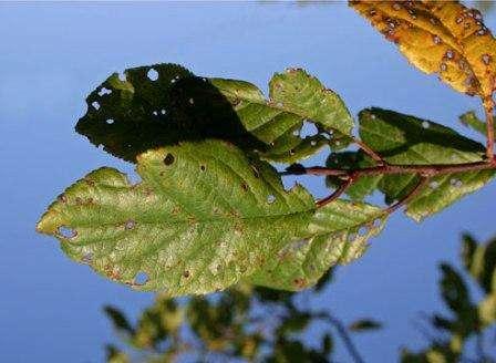 Клястероспориоз – одно из самых распространенных заболеваний вишни, которое проявляется уже весной. На листочках вы можете наблюдать коричневые пятнышки, которые потом превращаются в дырки. Если не провести вовремя профилактические меры