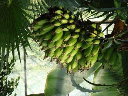 Как вырастить бананы в домашних условиях. Фото и видео