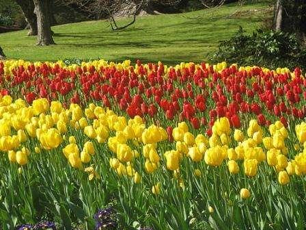 Тюльпаны любят солнечное место, поэтому перед посадкой тщательно подберите место для будущей клумбы. Земля в этом месте обязательно должна быть плодородной и рыхлой. Старайтесь высаживать только здоровые