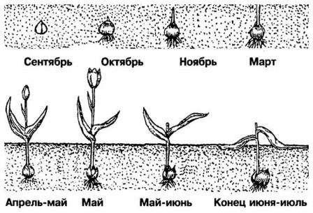 Луковицы – это посадочный материал, от качества которого напрямую зависит в будущем рост растения. Рекомендуем заранее узнать, как подготовить луковицы и правильно их высаживать, чтобы весной не расстраиваться, что половина их них не взошла.