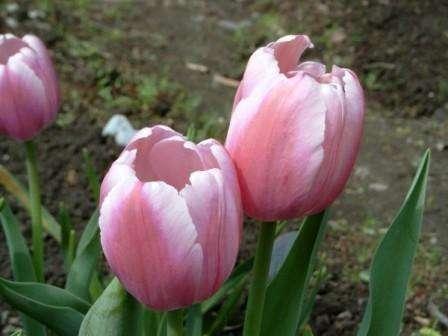 Спустя две недели можно полить немного все посаженные тюльпаны. На зиму не забудьте укрыть клумбу торфом или опилками,
