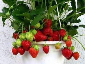 Выращивание клубники в горшках в квартире или теплице