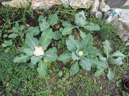 Существует два основных метода выращивания капусты: из семян или рассадой. При этом высадку можно проводить в открытый грунт или в теплицу.