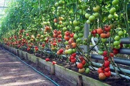 Борная кислота для помидоров. Опрыскивание растений, как разводить