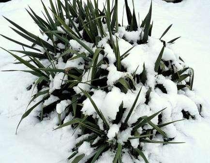 Юкка садовая: уход за растением, стоит выкапывать ли на зиму
