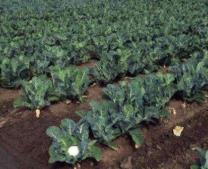 цветная капуста выращивание фото
