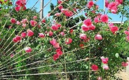 Опоры для плетистых роз своими руками. Много фото