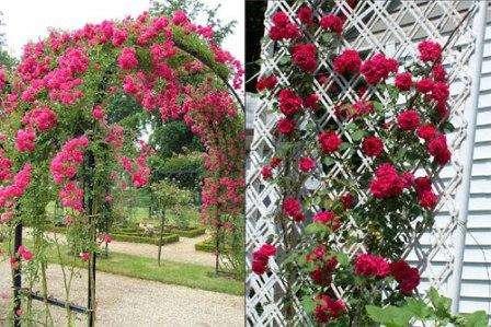 Опоры для плетистых роз можно сделать из самых разных материалов, все зависит от имеющегося бюджета. Плетущиеся цветы красиво смотрятся в арках, а также на прямых опорах и лесенках. Достаточно часто дачники используют шпалерную сетку,