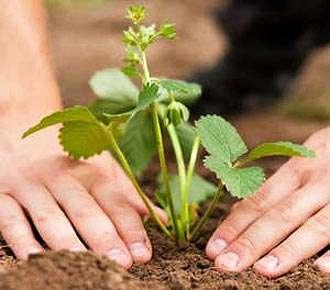 Как правильно посадить клубнику осенью на грядках. Видео