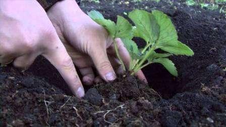 Как правильно посадить клубнику осенью на грядках
