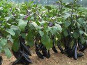 Как ухаживать за баклажанами, выращивание, удобрение, полив. Видео