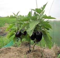 Баклажаны относятся к семейству пасленовых, поэтому их также как и помидоры нужно пасынковать. Этот процесс подразумевает удаление ненужных отростков, которые не приносят пользы растению, а только забирают у него силы.