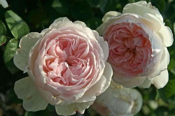 Английская парковая роза может быть плетущейся и кустовой. Бутоны отличаются необычной красотой с махровыми лепестками и сладким запахом. Английская роза может украсить собой абсолютно любой участок.