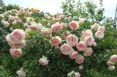 Именно парковые розы используются при декорировании ландшафтного дизайна на участках с большой площадью