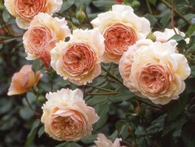 Парковые розы фото с названиями. Какие лучше выбрать для дачи