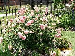 """Один из популярных разновидностей этой розы, это """"Abraham Darby"""", который славится особой выносливостью и сильным ароматом. Л"""