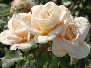 """""""Parkland roses"""" имеет красивую форму цветка, которая разительно отличается от других видов. Ствол куста не заплетается, ч"""