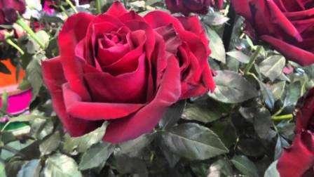 дин единственный недостаток у этих роз по названию - это однократное, хотя и довольно продолжительное цветение за год. Но в последнее время начали появляться сорта и с двухкратным цветением. Эти розы называются ремонтантными.