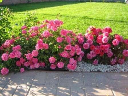 Парковые розы в ландшафтном дизайне. Фото и видео