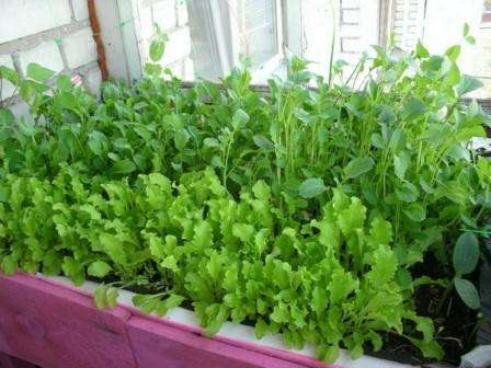 Как выращивать зелень на подоконнике круглый год своими руками