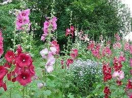 Некоторые цветоводы предпочитают совершать посадку семян розы шток весной. В таком случае растение уже зацветает в начале лета, но при этом возникнут небольшие сложности в уходе. Вам нужно постоянно следить за тем