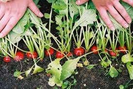 Выращивание редиса в открытом грунте весной