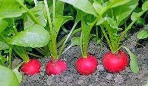 Редис лучше развивается в короткий световой день, поэтому учитывайте данный фактор, приступая к посеву. На качество плода влияют условия температурного режима, влажность и удобрения. Если хотите получить хороший урожай,