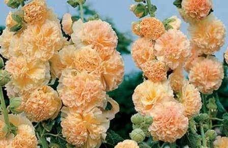 Шток роза: посадка и уход в открытом грунте из семян и рассады. Фото