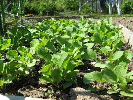 Выращивание редиса в открытом грунте весной. Видео и фото