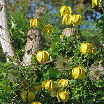 ломонос лиана