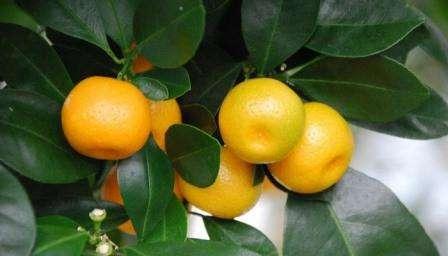 Каламондин: выращивание в домашних условиях