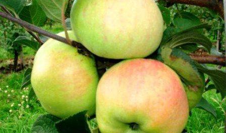 Яблоки богатырь описание фото