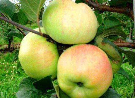 Яблоня Богатырь: описание, фото, отзывы