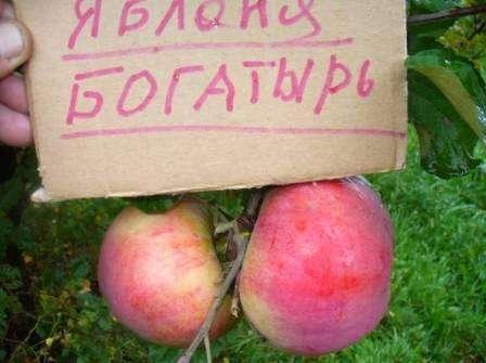 сорта яблок богатырь фото