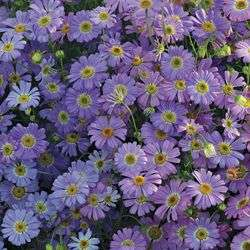 Брахикоме. Очень неприхотливое растение, которое сохранит цветение на протяжении всего лета. Голубая немоф