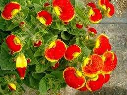 Кальцеолярия. Это растение всегда привлекает внимание к себе. Его можно увидеть на подоконниках, но особенный шарм это растение создает в саду. Огромная палитра цветов и оттенков сво