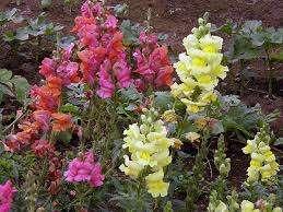 ьвиный зев. Это необычное растение отличается очень большим количеством цветочков на твердом стебельке.