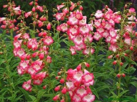 Печеночница  Растение хорошо растет в тени и влажной почве, цветет ранней весной. Многолетик с яркими цветками голубого,