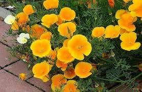 Эшольция. Отличное растение для дачного участка, не требующее постоянной заботы. Весь уход будет зак