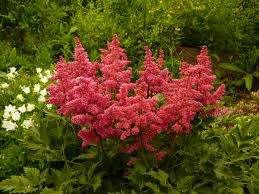 Астильба  Теневыносливое, многолетнее растение, требует высокую влажность грунта, что важно учитывать, используя его на д