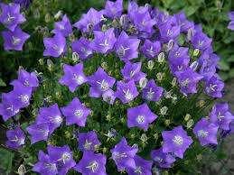 У колокольчиков множество разновидностей, некоторые из них часто используют для альпинариев. Это светолюбивые растения, которые хорошо выживают в морозы. Есть двухлетние и многолетние виды. Подойдет многолетний карпатский колокольчик, высотой до 30 сантиметров, цветущий в июне-сентябре голубы