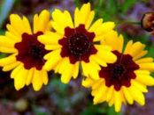 Однолетние цветы, цветущие все лето без рассады, название и фото