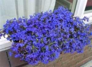 Лобелия. Это растение имеет богатейшую палитру цветов от нежно-голубого до насыщено ф