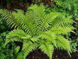 Папоротник  Многолетнее, неприхотливое растение, которое идеально подходит для альпийской горки на даче. Папор