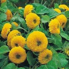 Подсолнечник. Отличное, мощное и высокое растение (может вырасти до 1,5 метра). Его можно вы