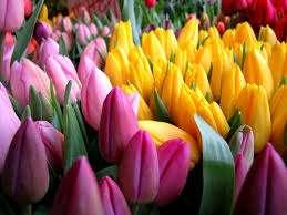 В теплицу стоит переносить посадки тюльпанов за 21 день к моменту цветения. По идее они должны вырасти до