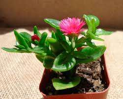 Аптения Невысокое, иногда вьющееся растение с мясистыми листьями округлой формы и мелкими цветами. Требует оби