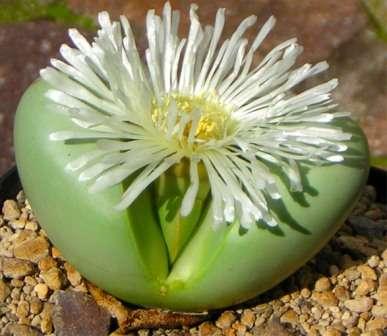 Аргиродерма Крохотное многолетнее растение, состоящее из двух мясистых серо-зеленых листков, которые обращены друг
