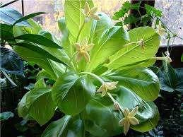 Бригамия Довольно высокий суккулент с древовидным стволом и темно-зелеными крупными листьями. Хорошо пе